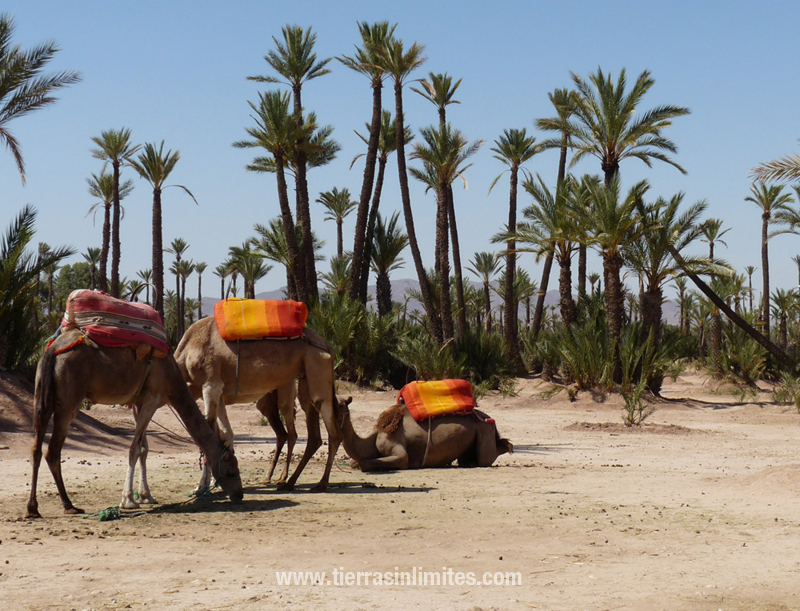 Dromedarios en Marruecos
